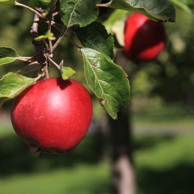 grannskörden-röd äpple