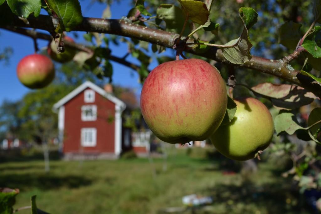 I Teklas trädgård på Åsens by.