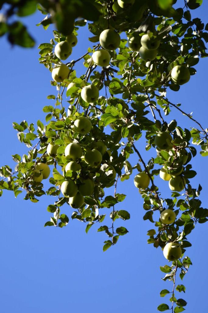 Träd dignar av frukt.